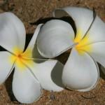 Singapur Obtusa Blüten