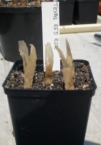 Plumeria Samen aussäen