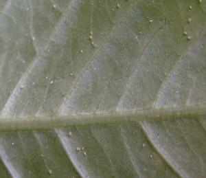 Blattläuse an einer Plumeria