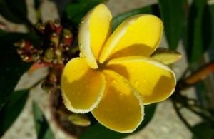 Plumeria Rubra 'Inca Gold'