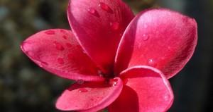 Plumeria Thai Hybrid R-03