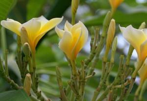 Plumeria Blüte gelb