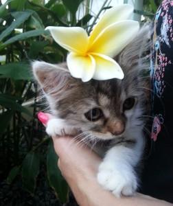 Katze mit einer Plumeria Blüte