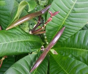 Samenkapseln an einer Plumeria