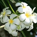 Plumeria Singapur Obtusa