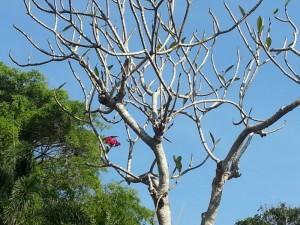 Thailand Plumeria Rubra Winterruhe