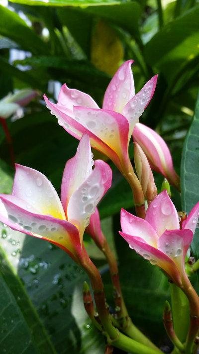 Pink Plumeria / Frangipani